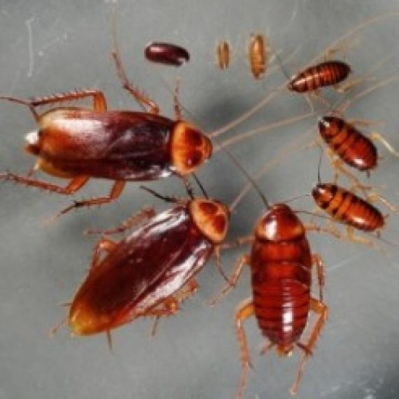 Cockroaches