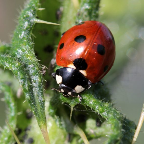 Beetles Control