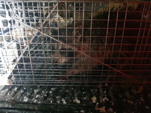 Raccoon Removal Long Island