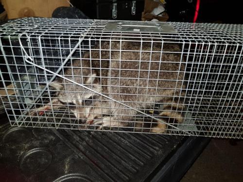 Raccoon Removal Bronx