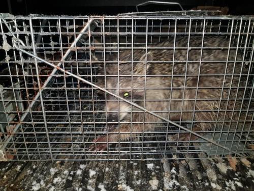 Raccoon Removal Brooklyn