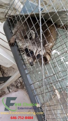 Raccoon Removal Service Brooklyn