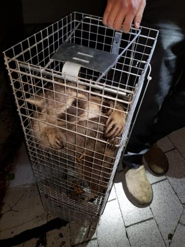 Raccoon Removal Queens